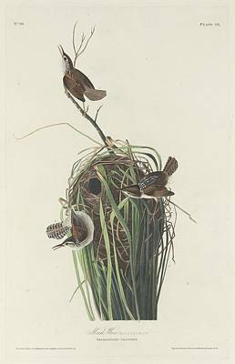 Wren Drawing - Marsh Wren by Dreyer Wildlife Print Collections