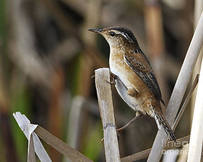 Wildlife Photograph - Marsh Wren.. by Nina Stavlund