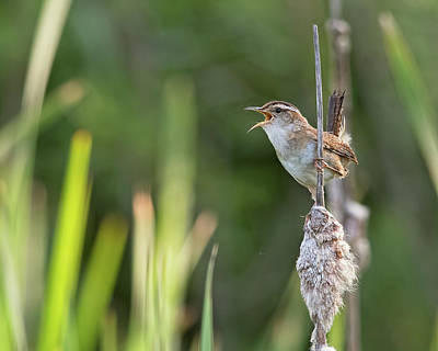 Photograph - Marsh Wren Singing by Jim Zablotny