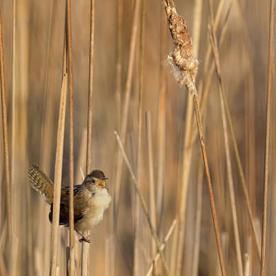 Wren Photograph - Marsh Wren Square by Bill Wakeley