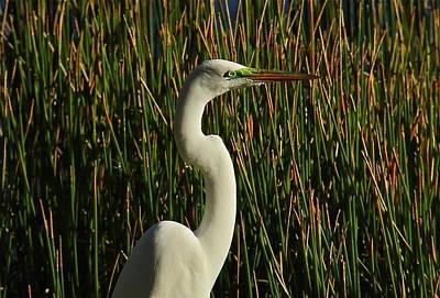 Photograph - Marshland Egret by Denise Mazzocco