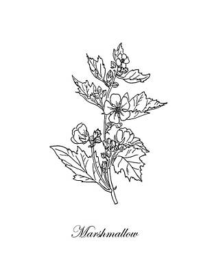 Drawing - Marshmallow Plant. Botanical by Masha Batkova
