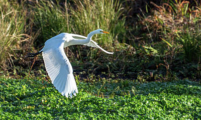 Photograph - Marshy Flight  by Kevin Dietrich