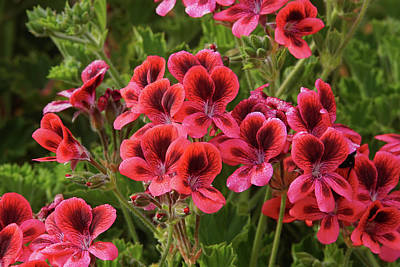 Photograph - Martha Washington Geraniums 2 by Ernie Echols