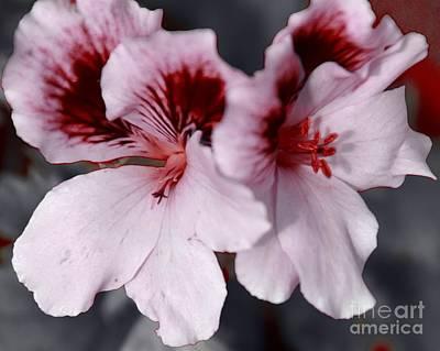 Photograph - Martha Washington Geraniums by Kathleen Struckle