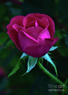 Photograph - Martha's Rose by Lydia Holly