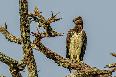 Photograph - Martial Eagle by Marilyn Burton