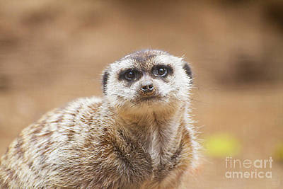 Photograph - marvelous Meerkat by Ruth Jolly