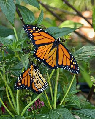 Photograph - Marvelous Monarchs by Carol Bradley