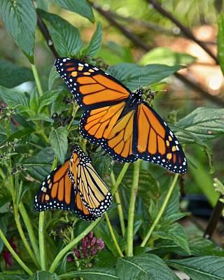 Photograph - Marvelous Monarchs by Carol Bradley