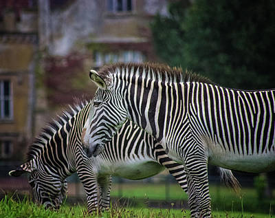 Marwell Zoo Zebras Print by Martin Newman