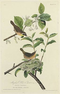 Yellow Beak Drawing - Maryland Yellow Throat by Dreyer Wildlife Print Collections