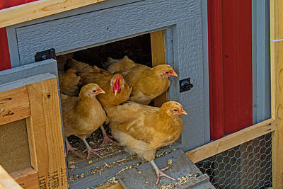 Photograph - Aunt Mary's Chickens by Alana Thrower