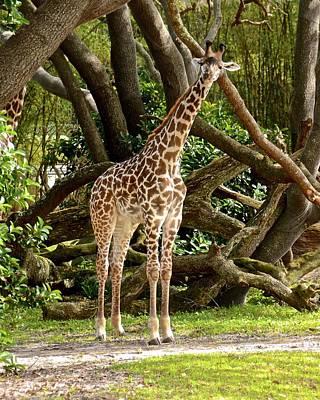 Photograph - Masai Giraffe by Carol Bradley