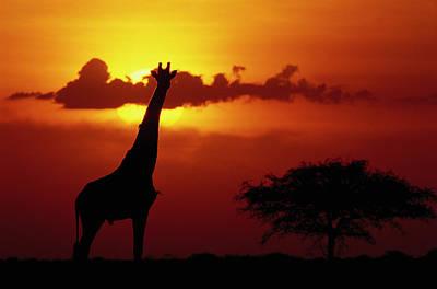 Masai Giraffe Giraffa Camelopardalis Print by Gerry Ellis