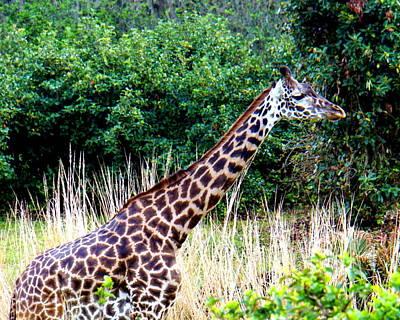 Photograph - Masai Giraffe by Katy Hawk
