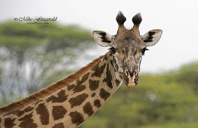 Photograph - Masai Giraffe by Mike Fitzgerald