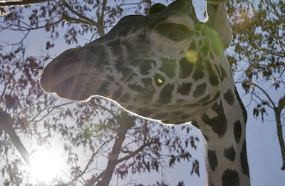 Abstract Male Faces - Masai giraffe up close and personal by LeeAnn White