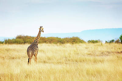 Photograph - Masai Giraffe Walking In Kenya Africa by Susan Schmitz