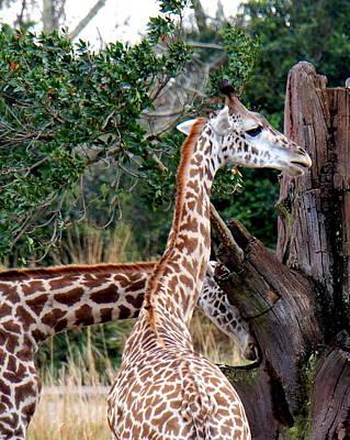 Photograph - Masai Giraffes by Katy Hawk