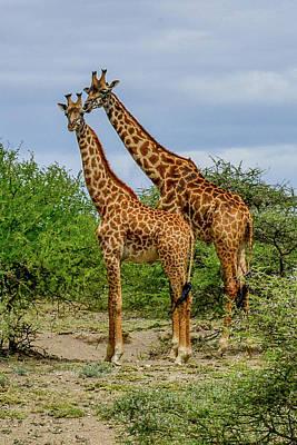 Photograph - Masai Giraffes by Marilyn Burton