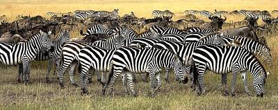 Of Zebra Grazing Photograph - Masai Mara, Kenya Herd Of Burchells by Chris Upton