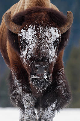 Photograph - Masked Bison II by Mark Miller