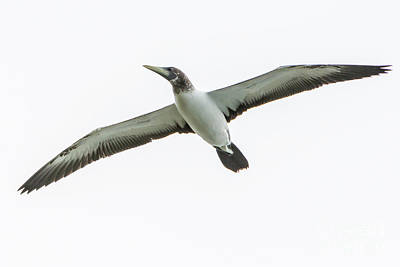 Photograph - Masked Booby 02 by Werner Padarin