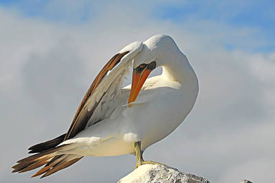 Photograph - Masked Booby by Alan Lenk