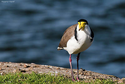 Digital Art - Masked Lapwing Bird 01 by Kevin Chippindall