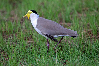 Photograph - Masked Lapwing, Mary River, Australia by Venetia Featherstone-Witty