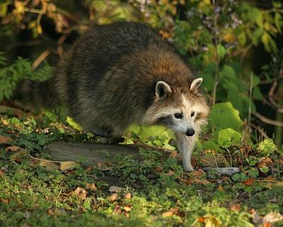 Print featuring the photograph Maskless Raccoon by Doris Potter