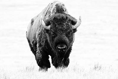 Photograph - Massive Bison Bull In Black And White by Tony Hake