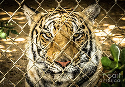 Photograph - Massive Siberian Tiger by Julian Starks