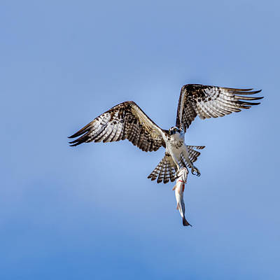 Photograph - Master Of Fishing - The Osprey by Debra Martz