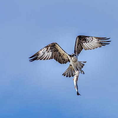 Photograph - Master Of Fishing - The Osprey by Debra Martz