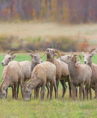 Photograph - Master's Call Bighorn Sheep by Jennie Marie Schell
