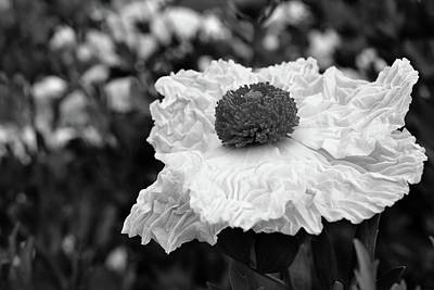Uc Davis Photograph - Matilija Poppy by Alessandra RC