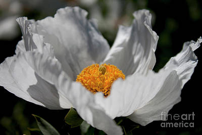 Photograph - Matilija Poppy by Ivete Basso Photography