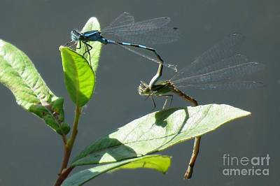 Photograph - Mating Blue-eyes by Frank Townsley
