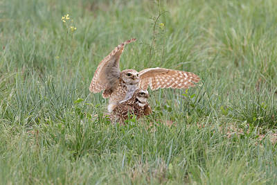 Photograph - Mating Burrowing Owls by Tony Hake