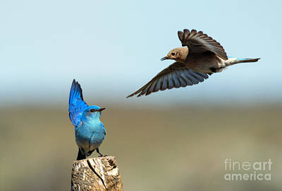 Bluebird Photograph - Mating Dance by Mike Dawson
