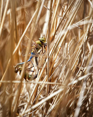 Dragonflies Mating Photograph - Mating Dragonflies by Al  Mueller