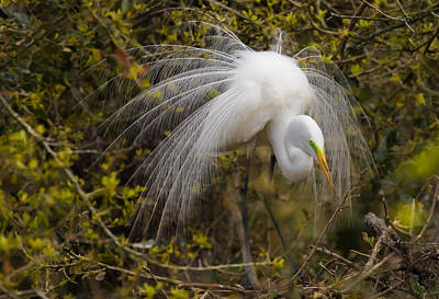 Photograph - Mating Egret by Kelly Marquardt