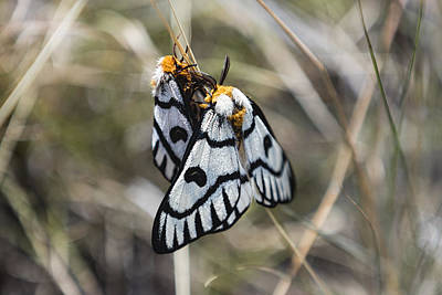 Photograph - Mating Hera Buckmoth by Josh Bryant