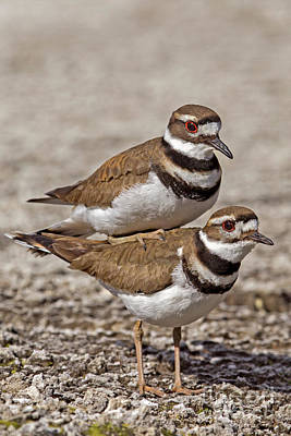 Photograph - Mating Killdeer by Sonya Lang