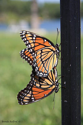 Photograph - Mating Monarch by Brenda Redford
