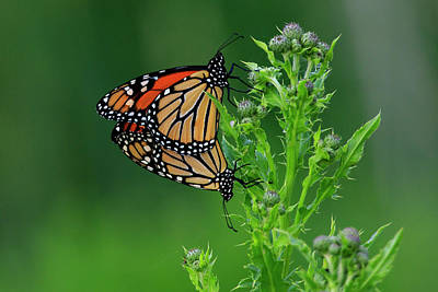 Photograph - Mating Monarch Butterflies by Gary Hall