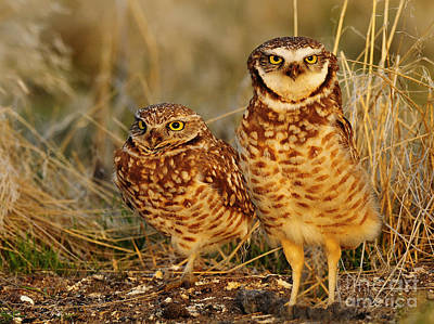 Mating Pair Of Burrowing Owls Art Print by Dennis Hammer
