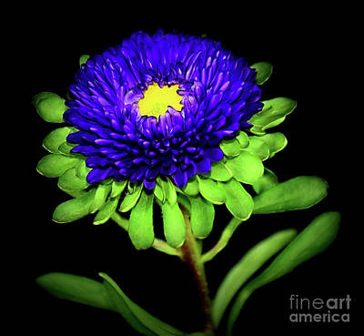 Photograph - Matsumoto Aster 12518-2 by Ray Shrewsberry